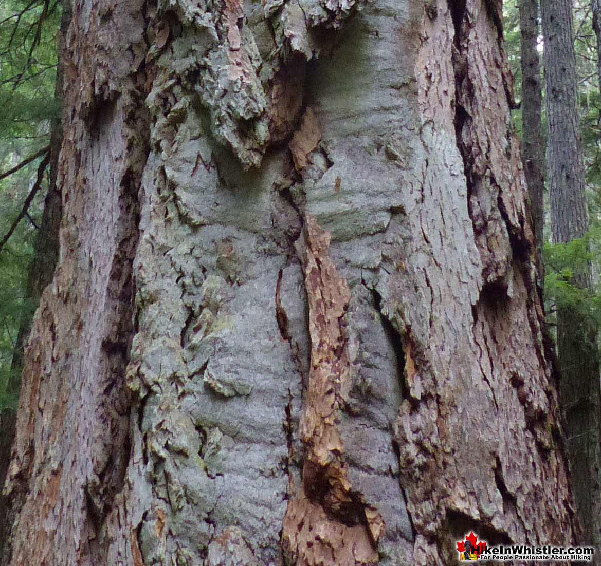 Coast Douglas-fir Bark