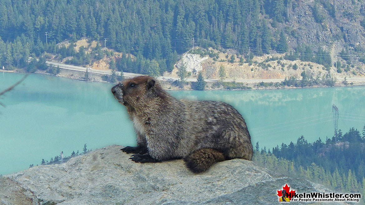 Hoary Marmot on Blackcomb