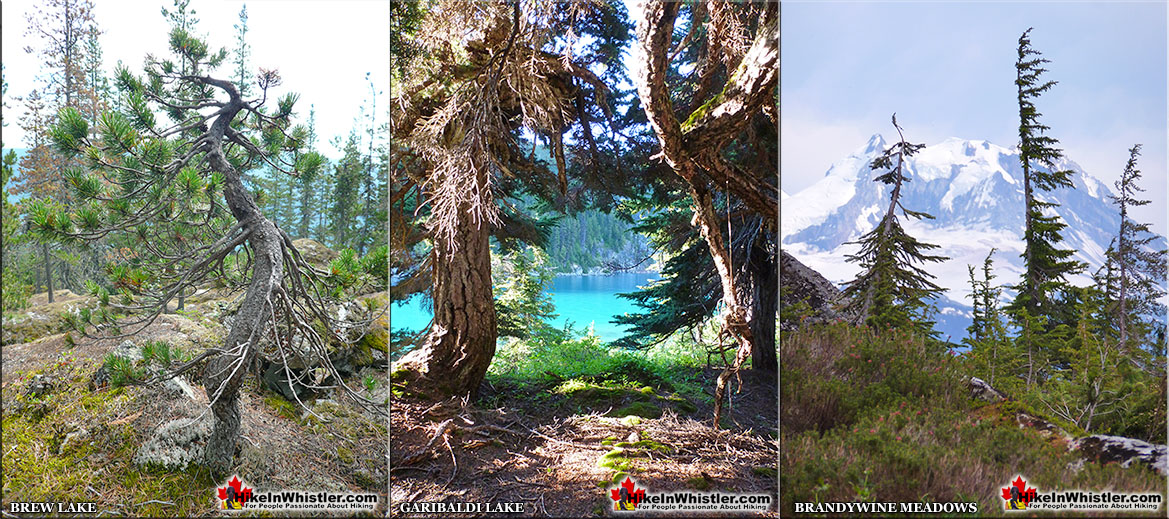 Krummholz at Brew Lake, Garibaldi Lake and Brandywine Meadows