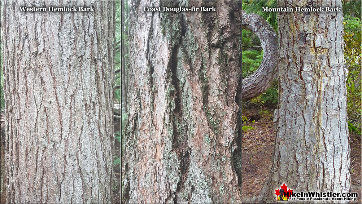 Mountain Hemlock Bark Comparison
