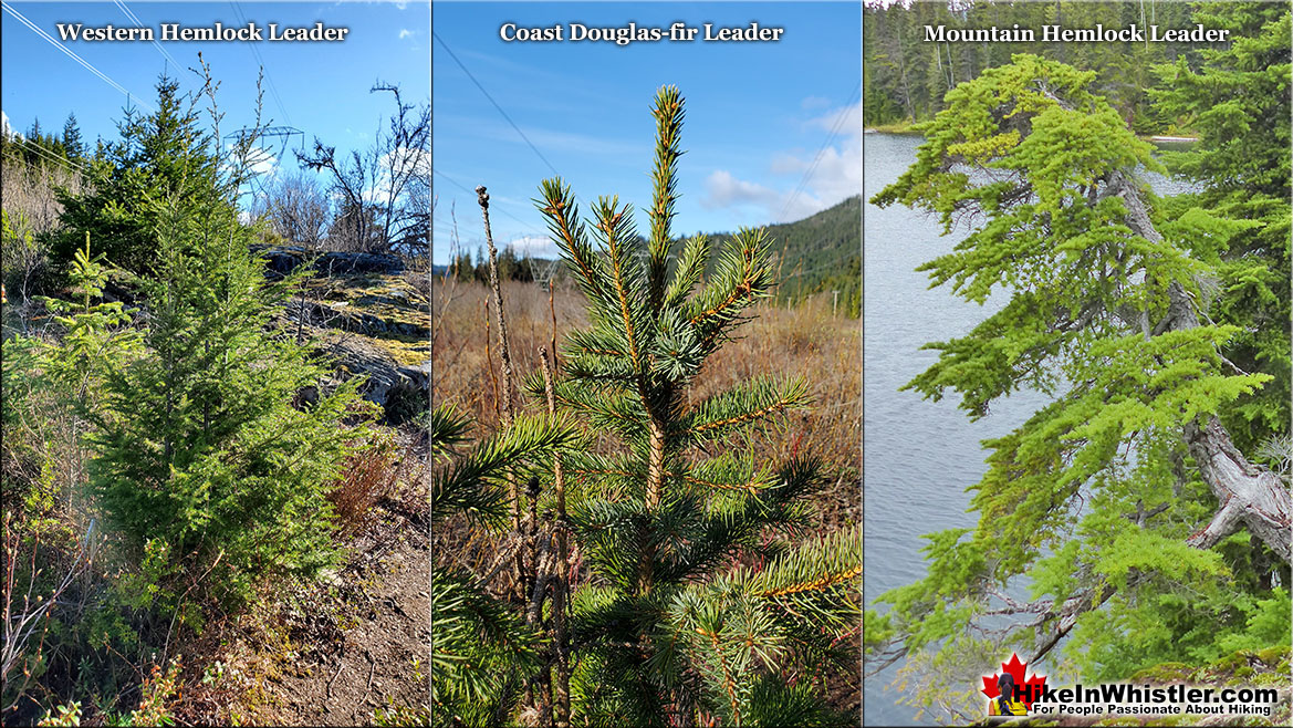 Mountain Hemlock Tree Comparison