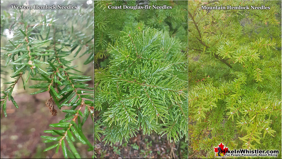 Needles Comparison Western Hemlock and Mountain Hemlock