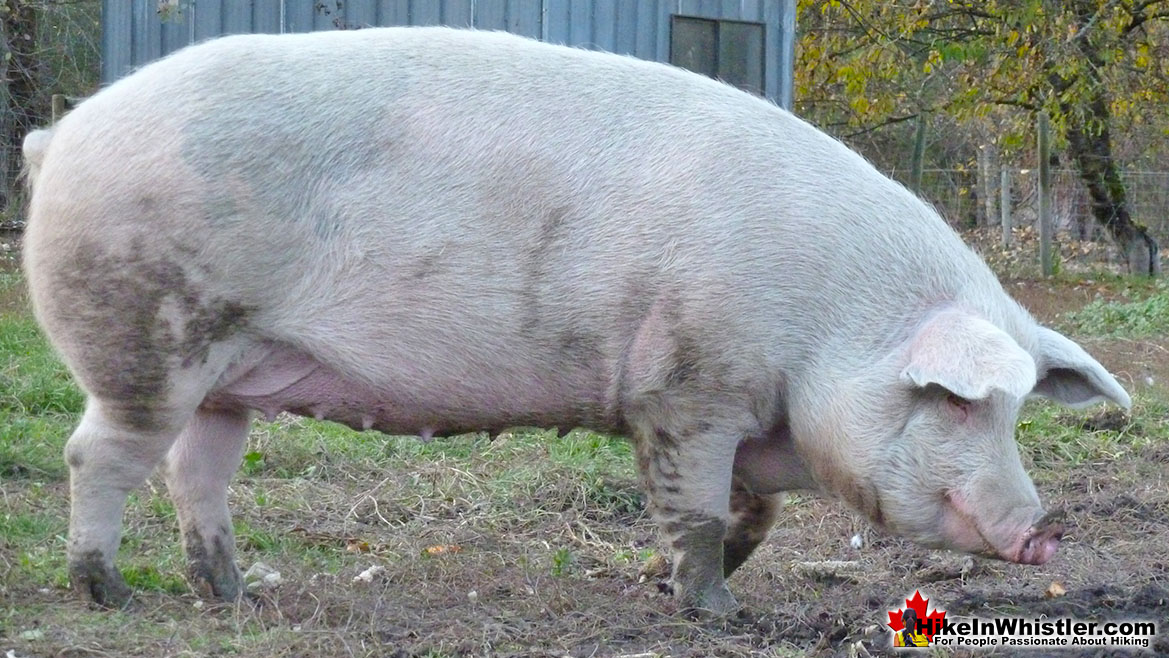 North Arm Farm Pig