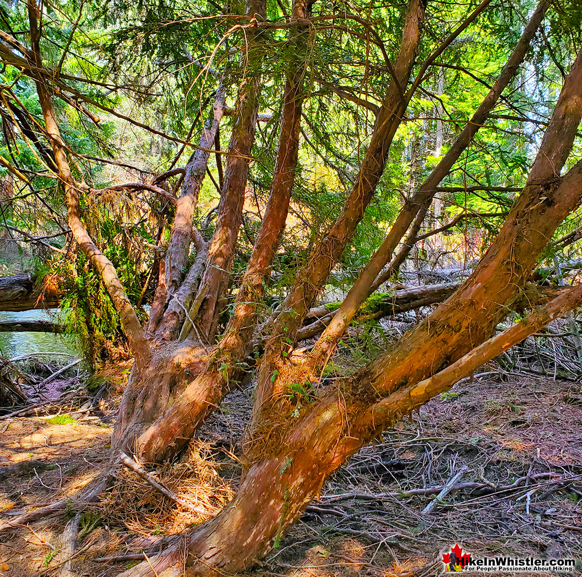 Pacific Yew in Whistler