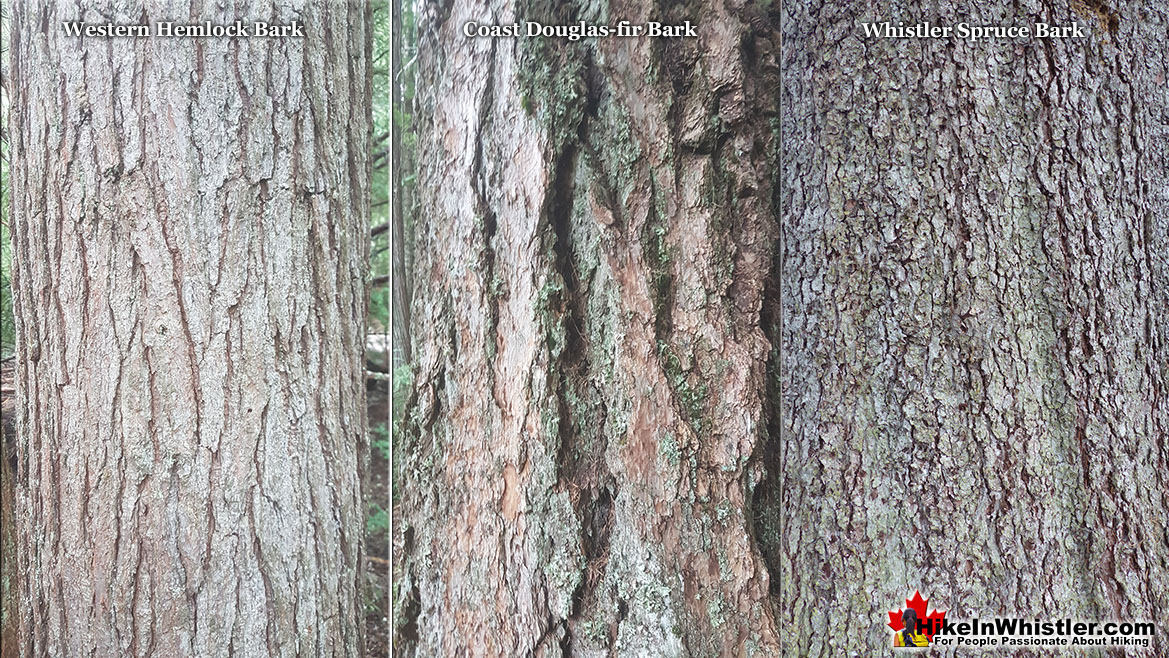 Western Hemlock Bark Comparison