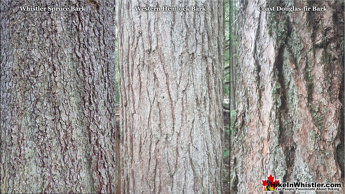 Whistler Spruce Bark Comparison to Douglas-fir and Hemlock