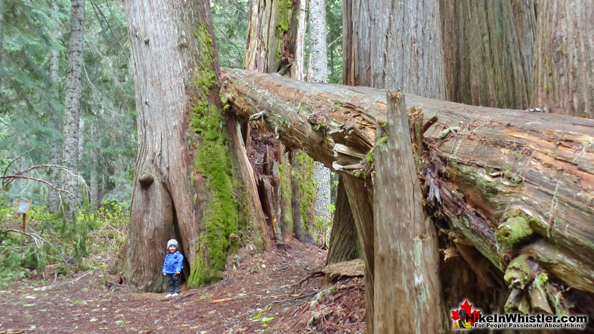 Ancient Cedars Hike in Whistler 15