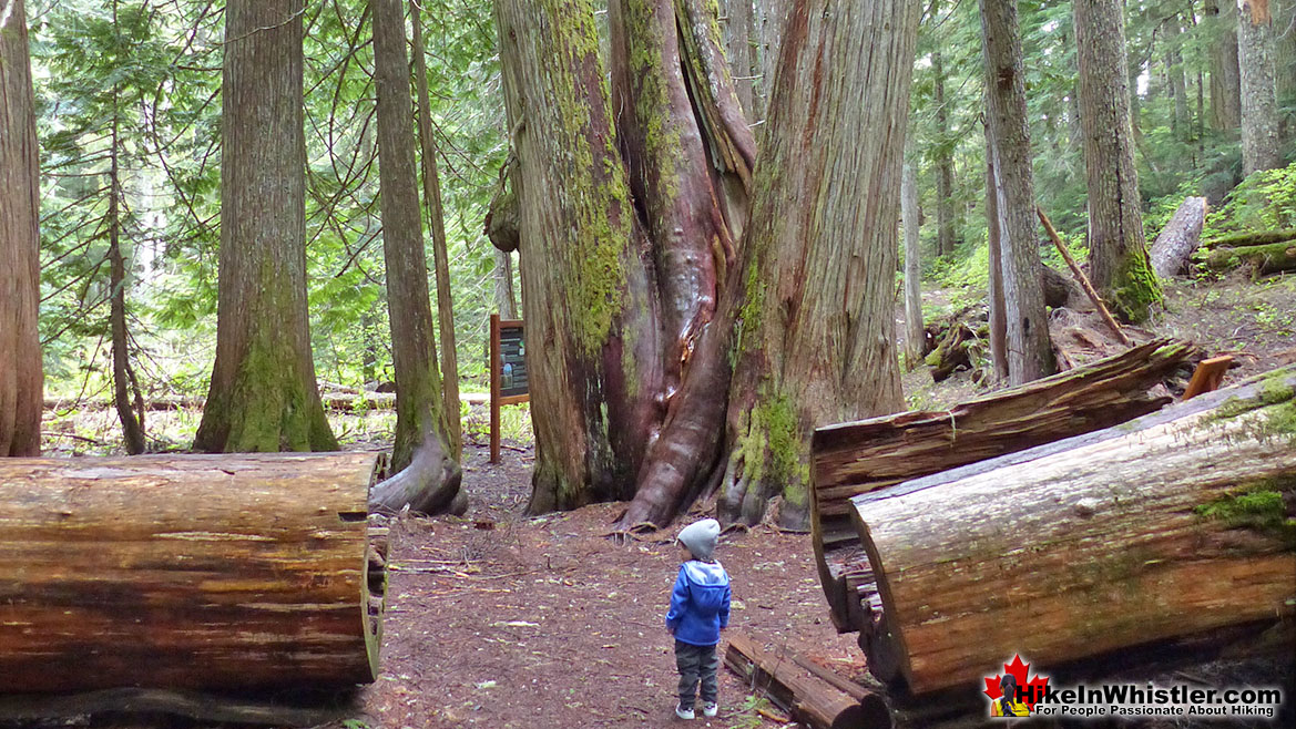 Ancient Cedars Best Hiking Whistler
