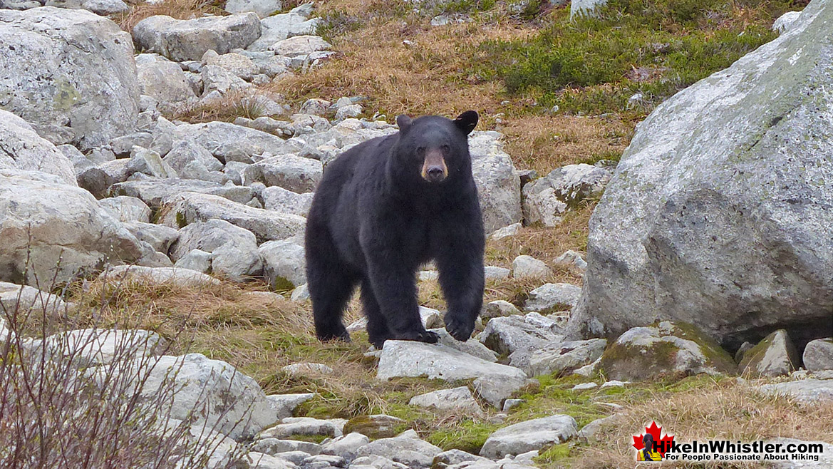 Blackcomb Mountain Bear