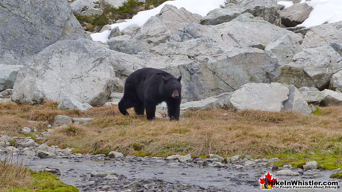 Black Bear in the Spearhead Range
