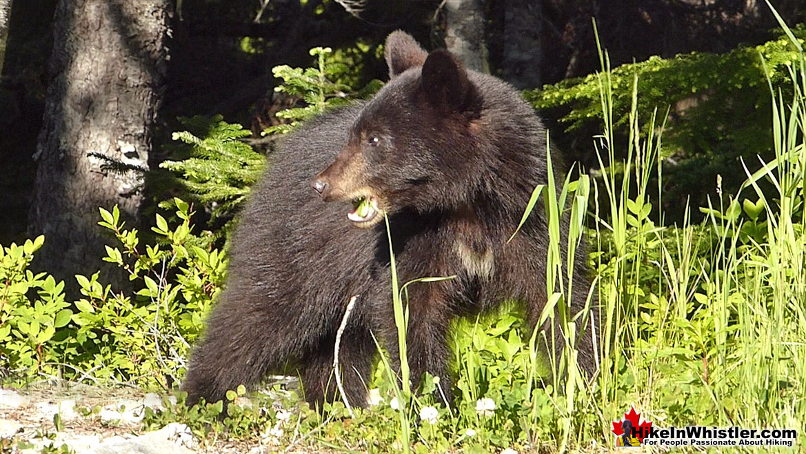Bear in the Callaghan Valley