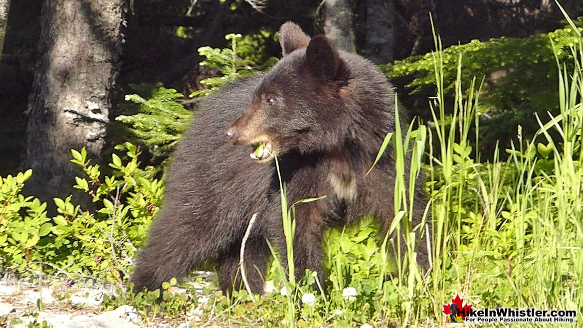 Black Bear Near Madeley Lake in Whistler